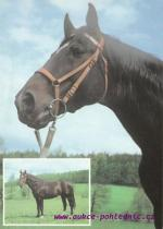 Hannoverský kůň-Kornet