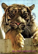 ZOO- Stuttgart  Tygr sumaterský