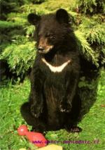 Dvůr Králové nad Labem - ZOO mládě medvěda himalájského