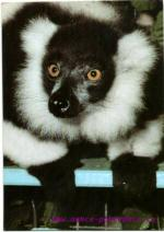 Lemur Vari - ZOO Kolín  nad Rýnem