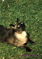 Kočka Siamská seal- point