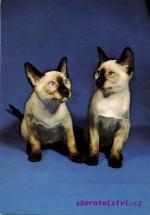 Koťata siamská - seal point