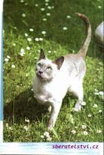 Kočka Siamská blue- point