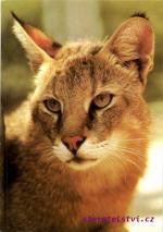 Kočka Bažinná