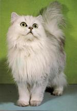 Kočka perská činčila